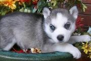Blue eyes siberian husky puppies available